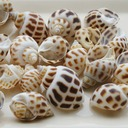 Beach Theme Screw Shells Unique Décor (50 Pieces)
